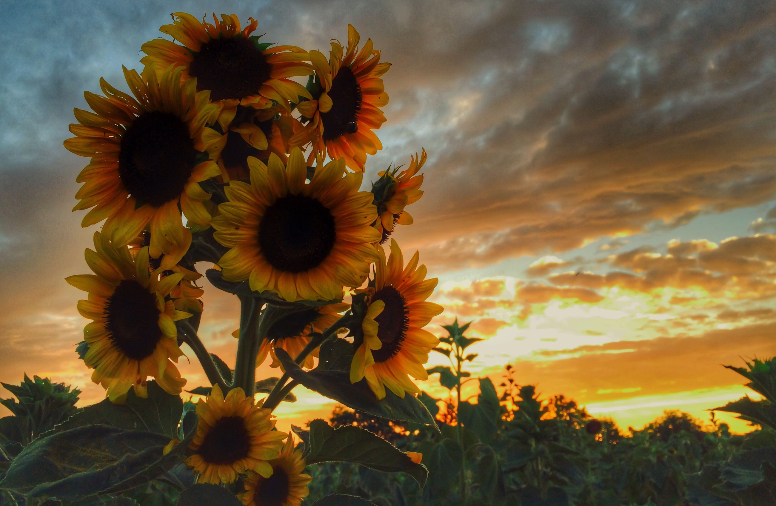 flower, freshness, fragility, petal, yellow, growth, beauty in nature, flower head, sunflower, sky, nature, blooming, plant, orange color, sunset, focus on foreground, close-up, pollen, cloud - sky, in bloom