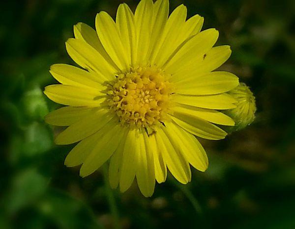 Yellow Flower Beautifulyellowflower Nature Photography CarmenVazquezPhotography Copyright© Flowerlovers Myflower MyPics Macro