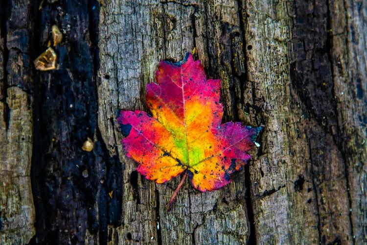 Single Maple Leaf in Autumn Autumn Change Close-up Colorful Fall Season Foliage Leaf Maple Leaf No People Outdoors Single Leaf Tree Tree Trunk