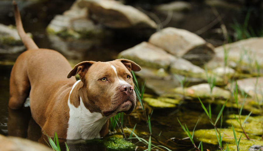 American Pit Bull Terrier dog outdoor portrait Horizontal Nature Pit Bull Animal Themes Brown Close-up Day Dog Domestic Animals Mammal Natural Ears Nature No People One Animal Outdoors Outside Pets Photograph Pit Bull Terrier Pitbull Terrier Uncropped Ears Water