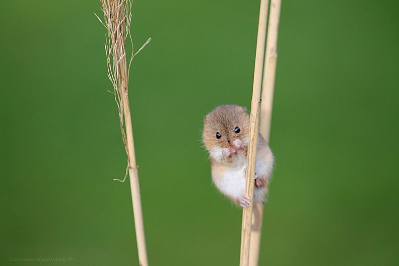 Portrait of harvest mouse on dried plant