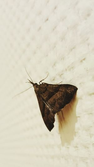 Motte Moth Nature Nature_collection Natur Focus On Foreground Nature Photography Beauty In Nature Detail Insekt Insect Insect On The Wall Color Palette