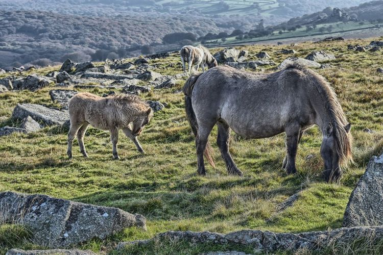 Ponies with foal on grassy hill at dartmoor