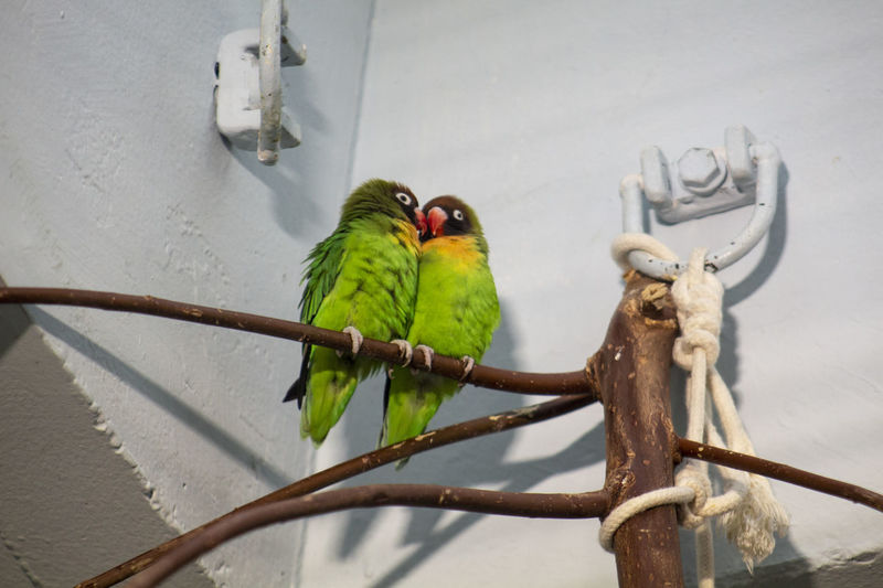 Animal Themes Animal Parrot Animal Wildlife Vertebrate Bird Group Of Animals Perching Day No People Outdoors Nature Green Green Color Yellow Orange Color Animals Zoo Zoology Zoophotography Zoo Animals  Multi Colored Parakeet Parrots Animals In Captivity