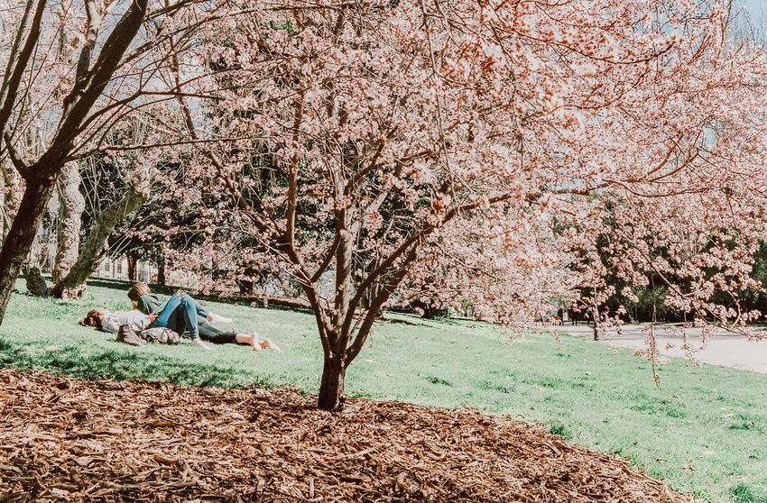 Beauty In Nature Blossom Cherry Blossom Cherry Tree Day Field Flowering Plant Fragility Freshness Grass Growth Land Nature Outdoors Park Park - Man Made Space Plant Real People Springtime Tree
