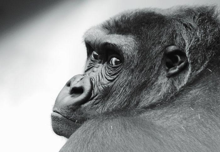 Gorilla from the Zoo Heidelberg EyeEm Best Shots Manlike Relatives Beauty In Nature Zoo Animals  Zoo Gorilla One Animal Close-up No People Mammal Animal Body Part Animal Eye Primate Portrait