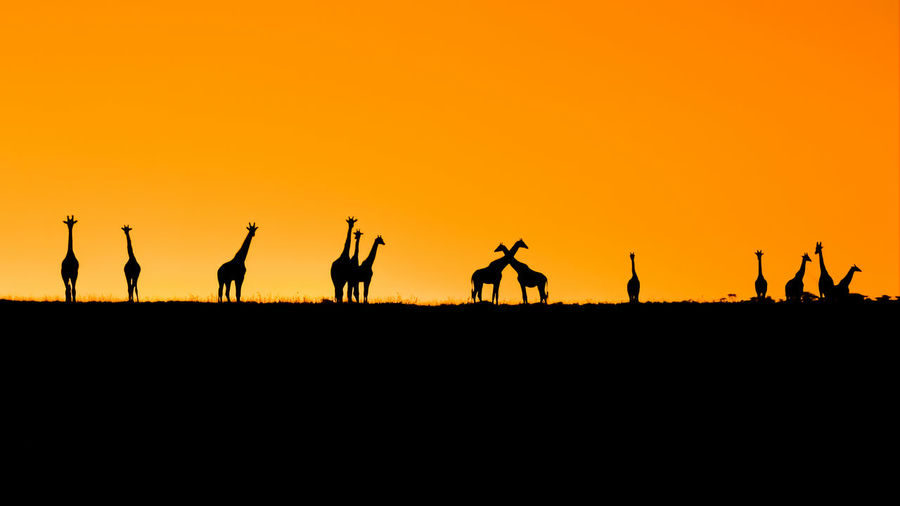 Animal Themes Animals In The Wild Beauty In Nature Clear Sky Day Mammal Nature No People Orange Color Outdoors Scenics Silhouette Sky Sunset