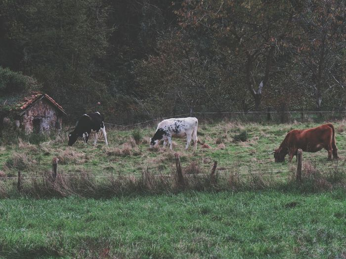 Horses grazing on field