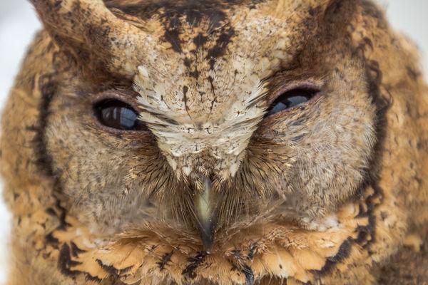 The big eyes Owl. Animal Eye Animal Wildlife Barn Owl; Beak; Beautiful Big Eyes; Bird Brown Feather; Claw; Closeup; Cute Feather; Hunter; Nature Night; Outdoors Owl; Portrait Predator; Thailand; Watching; Wing;