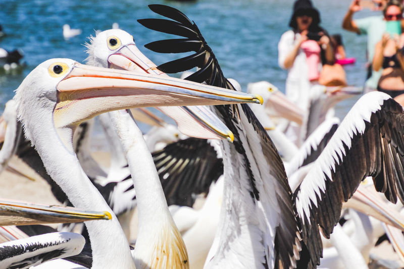 close up of pelicans at a local beach waiting for a regular feed by a local fish market Bird Vertebrate Animals In The Wild Animal Wildlife Group Of Animals Focus On Foreground Beak Day Nature Pelican Close-up Water Outdoors White Color Feathers Pelicans Incidental People