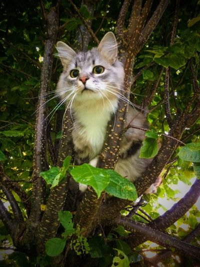 Cat Cats Siberian Siberian Cat Tree Summer Kitten Sunny Day
