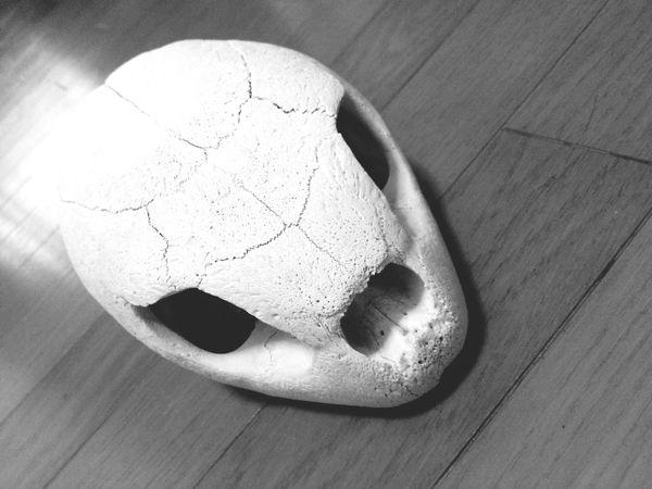 アオウミガメの骨…(u_u)