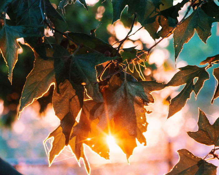 Leaf Nature Outdoors No People Day Growth Autumn Tree Beauty In Nature Close-up Sky Sun Sunlight Sunset