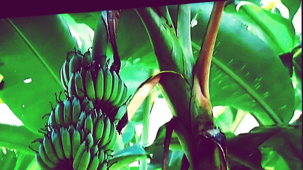 Banana, Cultivated banana Growth Plant Green Color Nature Outdoors Banana Tree