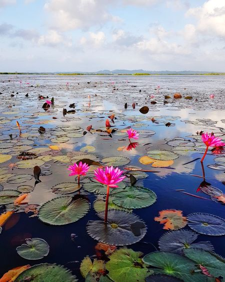 Scenic view of lotus lake against sky Cloud - Sky Flora Floral Botany Lotus Lake Nature Environment Idyllic Tourism Phattalung Relaxing Nature Outdoors Travel Holiday Summer Thailand Tranquility Landscape Water River Lake Countryside Rural Scene Lotus Lotus Water Lily Flower EyeEmNewHere