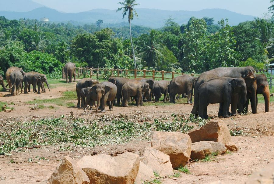 elephant orphanage! Sri Lanka Pinnawala Elephant Orphanage African Elephant Tree Elephant Animal Trunk Safari Animals Animal Themes Sky Group Of Animals