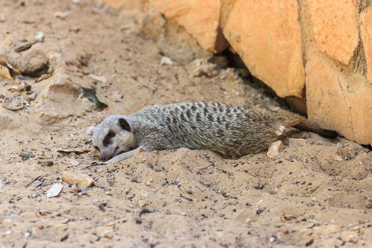 Meerkat sleeping on sand