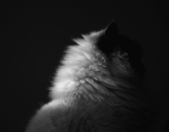 Cat Quintessence. Cat Blackandwhite Portrait Nature