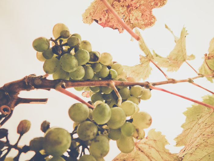 Low angle view of grapes growing on tree against sky