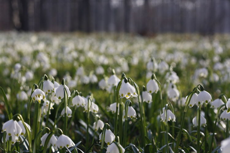 Beauty In Nature Blooming Close-up Day Field Flower Flower Head Fragility Freshness Growth Nature No People Outdoors Petal Plant Snowdrop