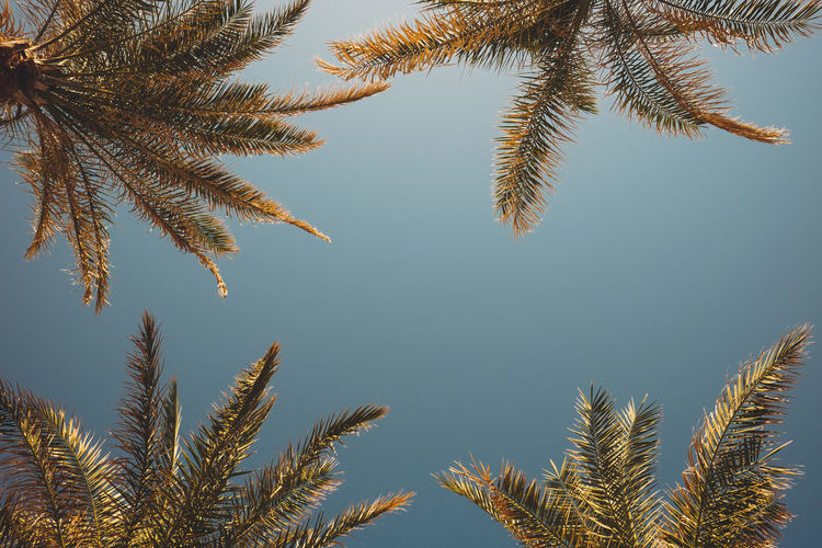 High section of cropped palm trees against clear sky