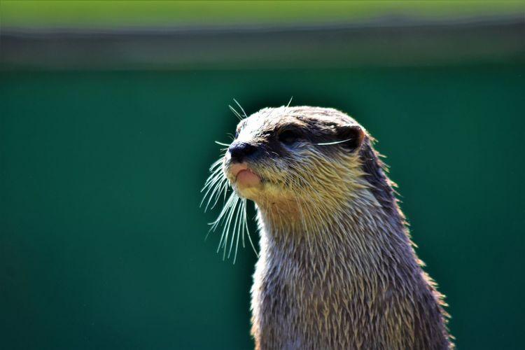 Close-up of an otter