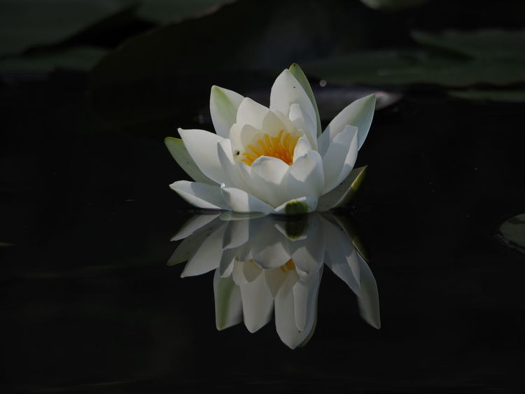 See Flowers Reflections In The Water Flower Head Black Background Flower Perfume Water Closing Petal Water Lily Frangipani Stamen Pond