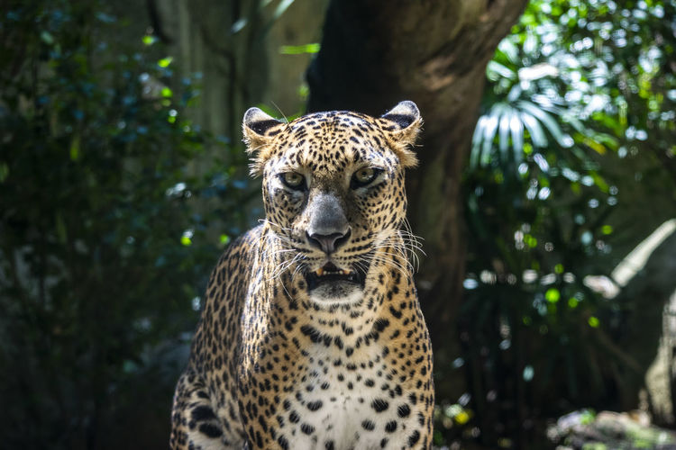 Portrait Of Leopard In Forest