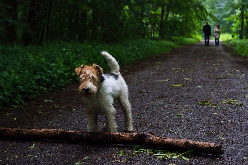 Fox Terrier By Bark On Road Amidst Trees At Park