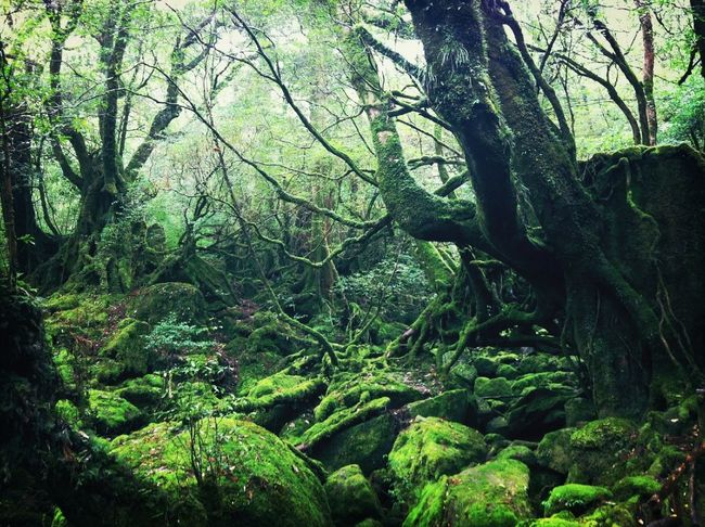 屋久島  (Yakushima Of The World Natural Heritage) Shiratani Unsui Gorge/白谷雲水峡
