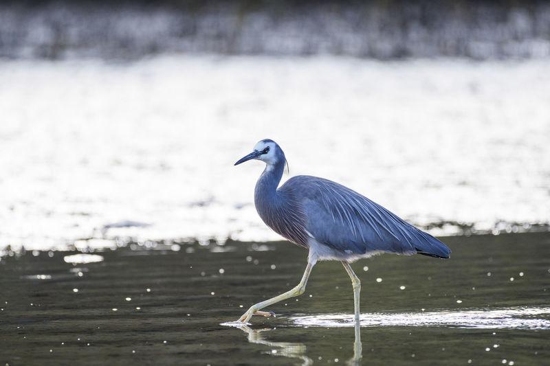 Heron on water