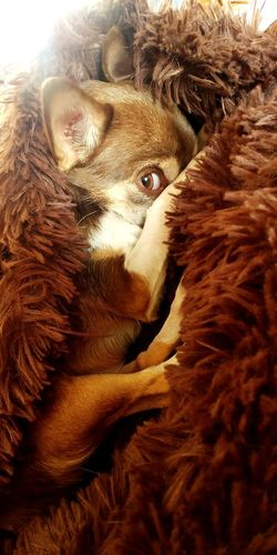 Chihuahua Eye