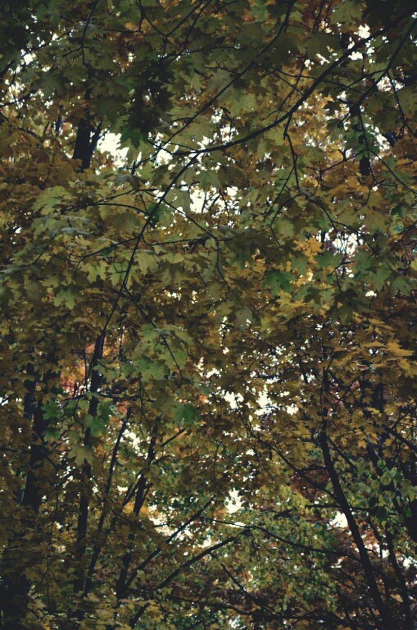 tree, nature, branch, growth, low angle view, beauty in nature, day, no people, fruit, outdoors, leaf, freshness