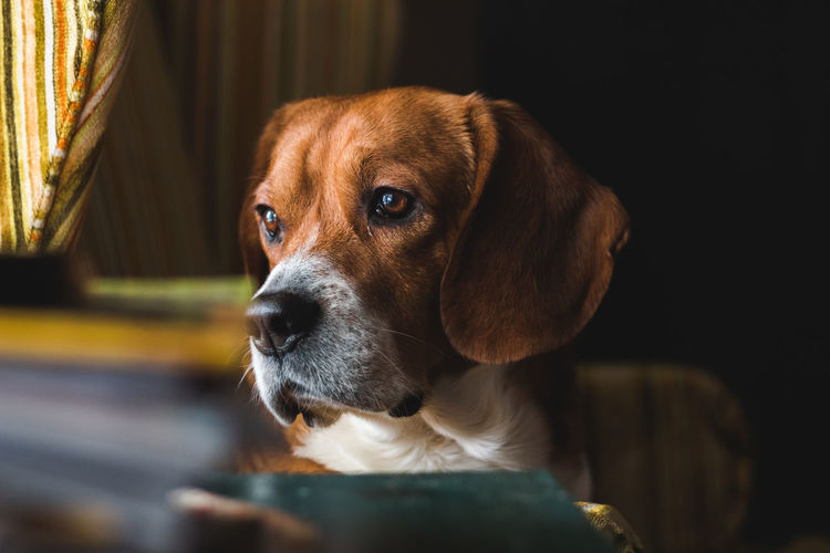 Chair Natural Light Adorable Animal Themes Beagle Beagle Looking At The Camera Candid Close-up Cute Cute Beagle Cute Dog  Day Dog Dog Nose Domestic Animals Eyes Furniture Indoors  Interior Design Interior Designer Mammal No People One Animal Pets Retro Furniture