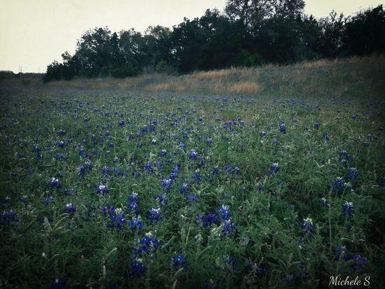 Texas Texas Bluebonnet Texasbluebonnets
