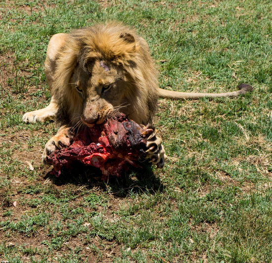 High Angle View Of Lion Sitting On Grassy Field And Eating Meat