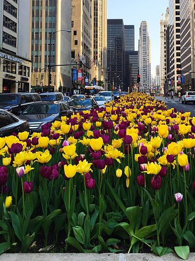 Chicago Michigan Avenue Spring Flowers in the Middle Of The Road Beautiful Day Beautiful City Lots Of Traffic Amateurphotographer  Iphonephotography Eyeemurban Chicago Prime Shots Picoftheday Pictureoftheday Eye4photography  EyeEm Flower Eye For Photography