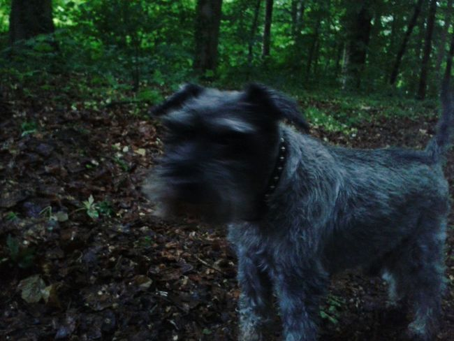 ROCKY von meiner Oma EyeEm Dog Hund Schnauzer Dog Of Eyeem Dogoftheday EyeEm Dog Lover
