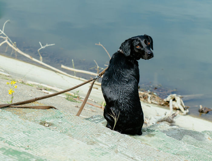 Close-up of black dog in water