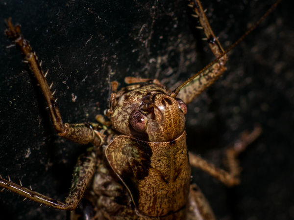 Animal Themes Animal Wildlife Animals In The Wild Bush Cricket Close-up Cricket Insect Insects  Nature Night No People One Animal Outdoors Six Legs