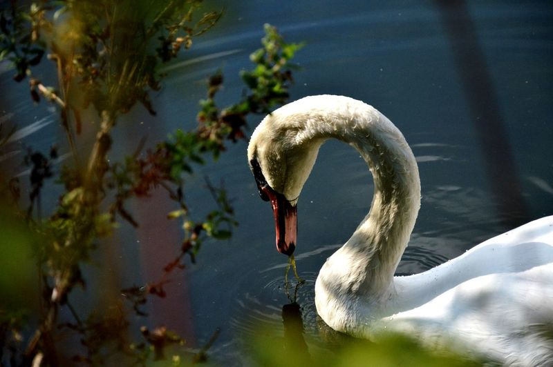 Swan Floating On Water