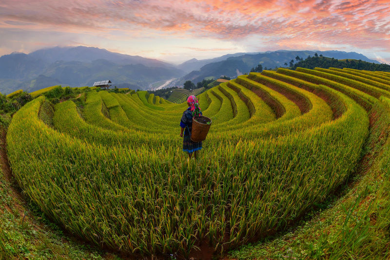 Scenic view of rice paddy on land