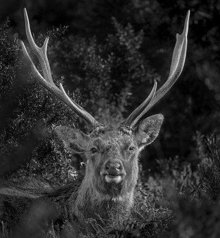 Male Sika Deer. Arne Blackandwhite Male One Animal Outdoors Sika Deer Wildlife & Nature WoodLand