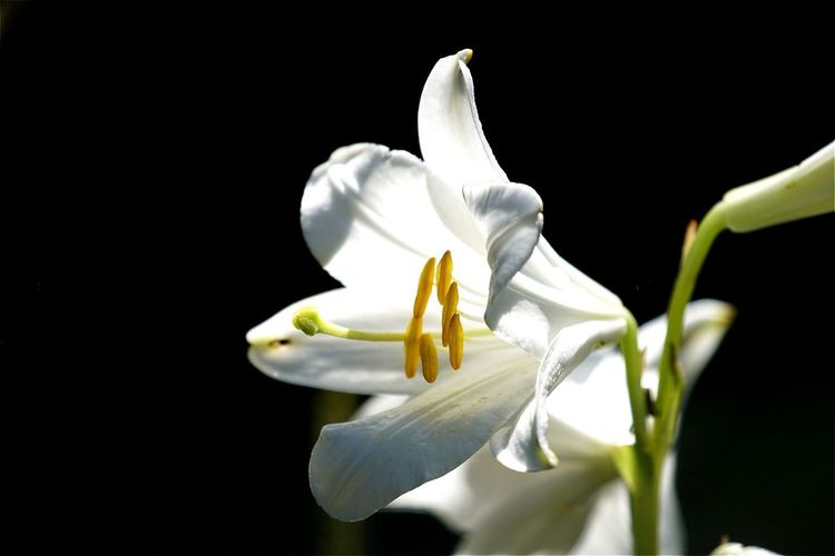 Close-up of white flower blooming against black background