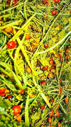 Ladybugs Ladybug Nest Group Of Ladybugs Red Ladybugs Yellow Ladybugs Orange Ladybug Insects  Insect Photography Straw Natures Diversities
