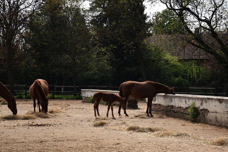 Beautiful hungarian gidran horses and foals in an open, outside barn