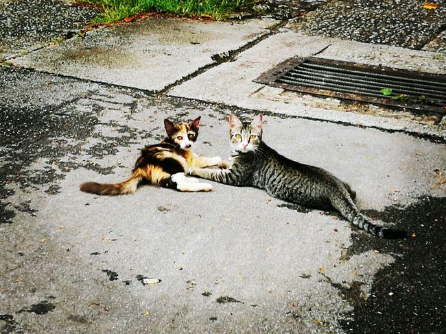 Mammal Domestic Cat Pets Tortoiseshell Cat