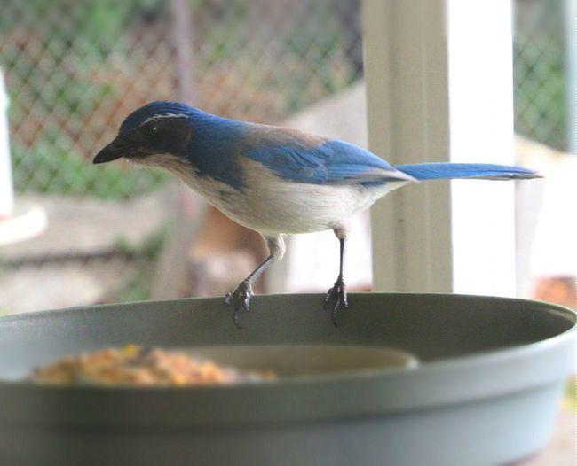 Scrubjay Wild Bird Wildlife Photography Bird Feeder Birds Single Bird Outdoor Photography Avian