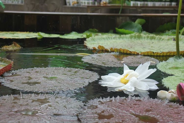 Flower Water Nature Floating On Water Tranquility Beauty In Nature No People Fragility Flower Head Day Outdoors Freshness Close-up Rain