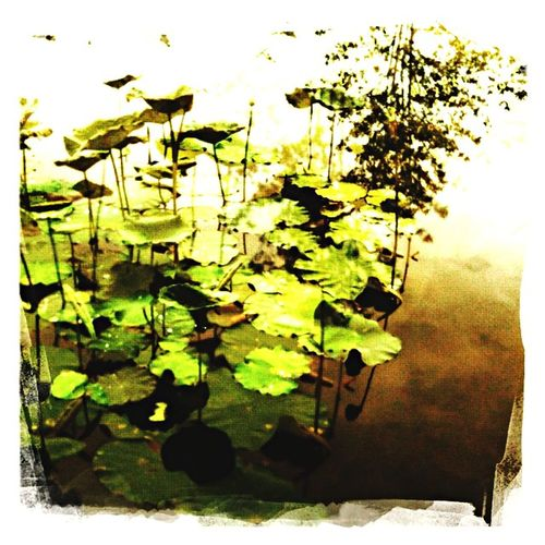 water lilly Hipstamatic Water Lillies Nature Plants 🌱 Taking Photos
